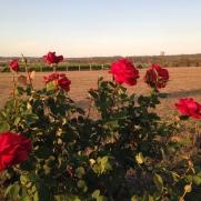 2015 Roses 1